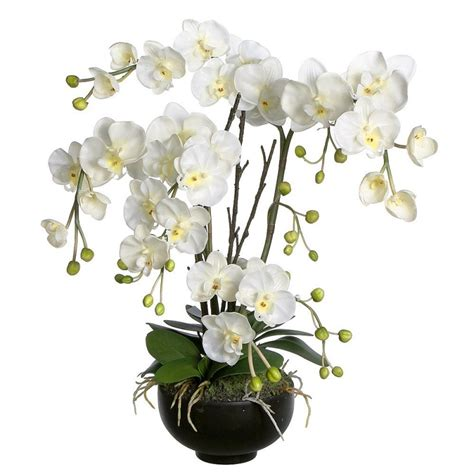 orchidea in vaso orchidee phalaenopsis