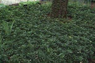 pachysandra also known as japanese spurge is a low growing evergreen ground cover plant