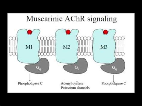 g protein q g protein linked receptors that act through 2nd messengers
