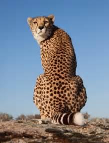 Do Jaguars Purr Cheetahs