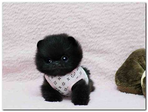 pomeranian teacup teddy cut teacup pomeranian teddy cut pictures reference