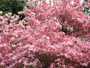 Large Pink Flowering Tree - dogwood tree flower images