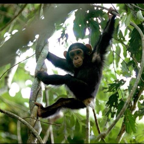 monkeys swinging in a tree young chimpanzee hanging around photograph by michael