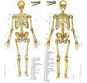 Huesos Del Cuerpo Humano Related Keywords &amp Suggestions