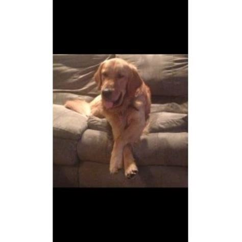 golden retriever puppies in pittsburgh pa litsko s oakley golden retriever stud in pittsburgh pennsylvania