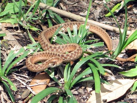 Garden Snake Ridding Your Garden Of Snakes Tips On How To Get Rid Of