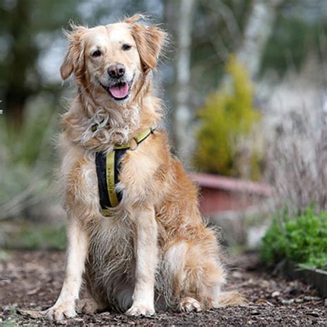 can dogs honey sponsor a honey golden retriever dogs trust