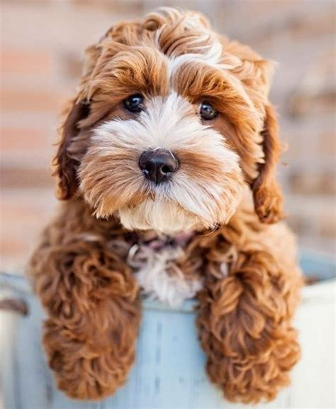 havanese cocker spaniel mix best 25 poodle mix puppies ideas on