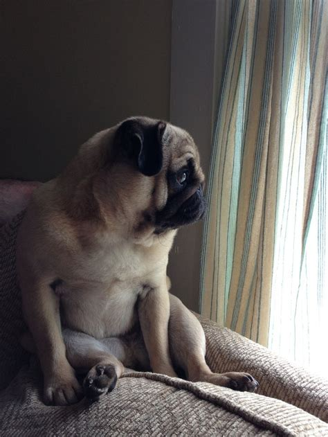pug boston terrier mix health problems 1000 ideas about pug health problems on can dogs corn pets and my