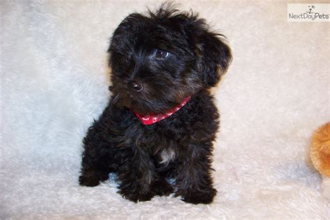 yorkie poo puppies for sale in missouri yorkiepoo yorkie poo puppy for sale near st louis missouri 09ff0469 6661