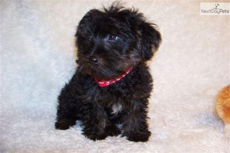 yorkie poo for sale near me yorkiepoo yorkie poo puppy for sale near st louis missouri 09ff0469 6661