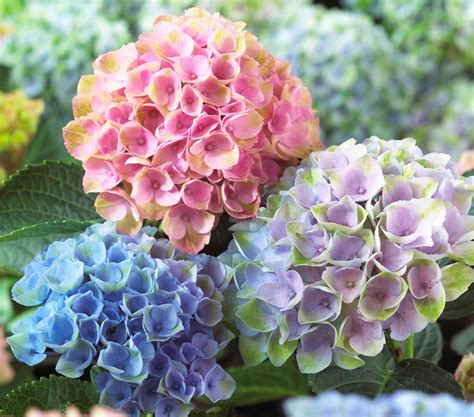 heavenly hydrangeas nature as art and inspiration