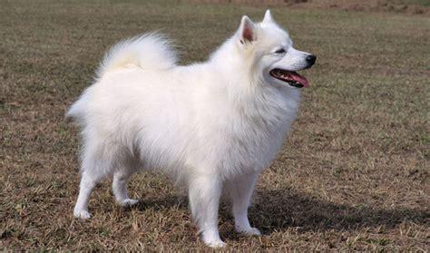 eskimo dogs american eskimo breed information