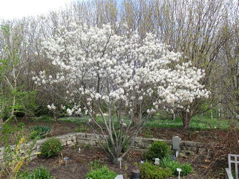 rotary botanical gardens hort blog serviceberry amelanchier