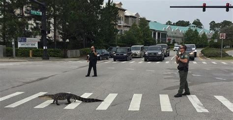 Flagler County Sheriff Office by Polite Alligator Uses Crosswalk In Florida To Cross The