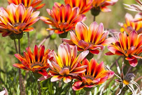Green Color Decorating Ideas Gazania Flowers Low Maintenance Annuals