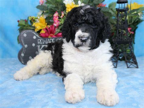 standard parti poodle puppies for sale puppies for sale poodle standard barbone parti standard poodles parti poodles