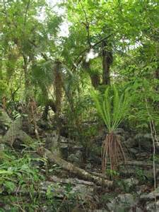 most difficult plants to grow microcycas in nature