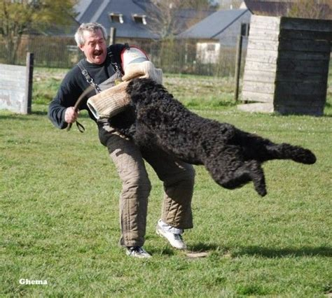 bouvier dogs best 25 bouvier des flandres ideas on