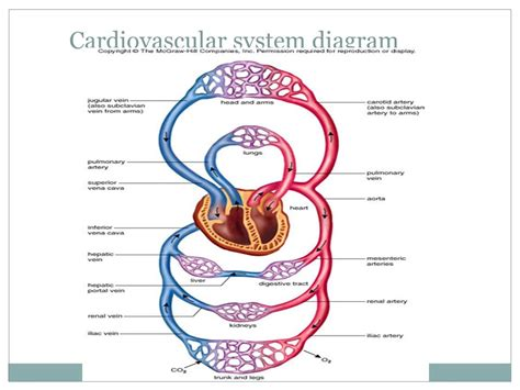 circulatory system diagram 10 best images of simple diagram of circulatory system