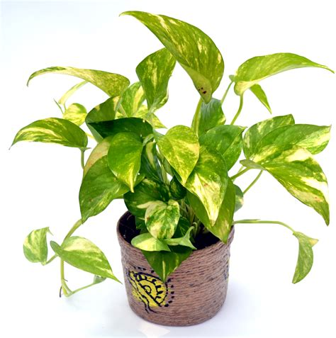 Where To Buy Home Decor Online by Buy Money Plant Hybrid Online Flaberry Com