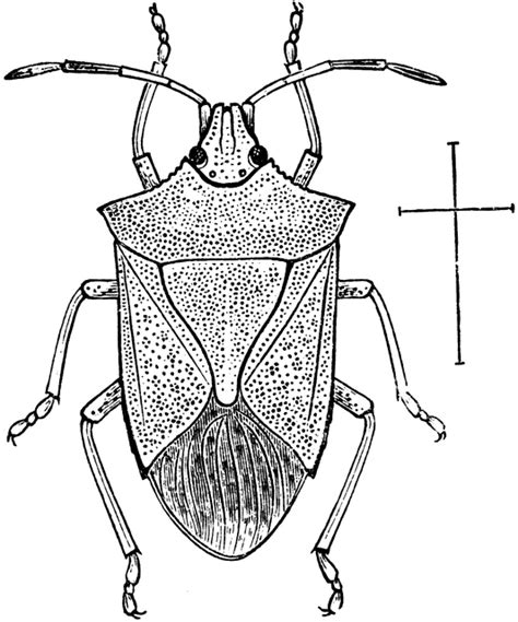 adult stink bug clipart etc