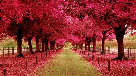 wallpaper pink trees pink trees walkway wallpaper