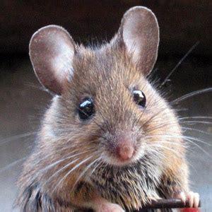 come catturare un topo in cucina come catturare un topo in modo non violento arrangiamoci