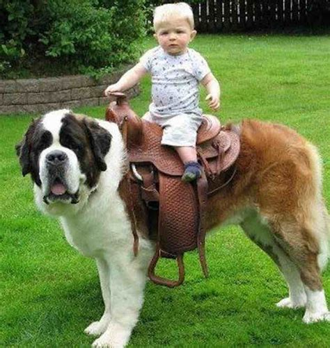 largest breed top 20 largest breed of dogs pics breeds picture