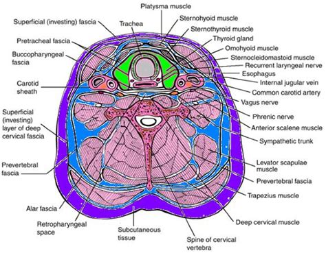 cross section of neck tele anatomy