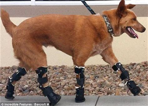 dogs with legs orthotics prosthetics getting a leg up animal rehab greenville
