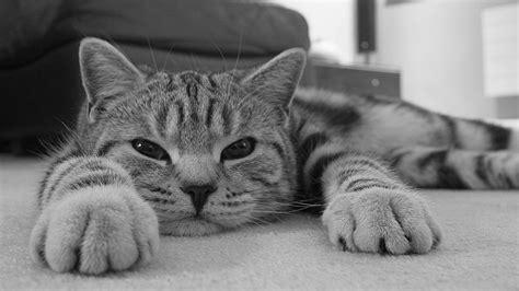 fotos en blanco y negro graciosas gato en blanco y negro hd 1920x1080 imagenes