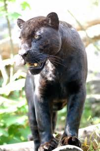 what color is a panther file jaguar schwarzer panther zoologie de nk0005 jpg