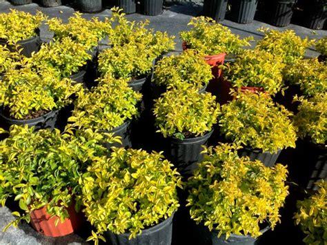 Olive Garden Bradenton by Locate Find Wholesale Plants Plantant