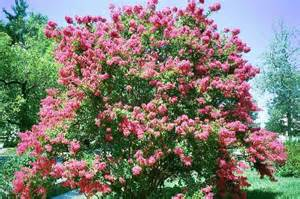 35 dark pink crepe myrtle lagerstroemia flowering shrub bush small tree seeds 171 lawn nation