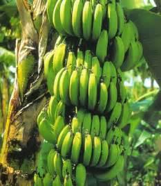 bananas on tree buy banana trees banana plants now on sale