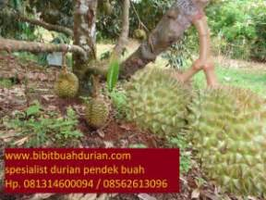 Bibit Durian Bawor Di Jember 082 433 311 176 telkomsel bibit durian bawor bibit