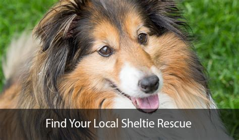 Do Shelties Shed by Sheltie Shed Image Mag