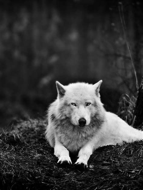 white wolf   wild ipad mini wallpaper