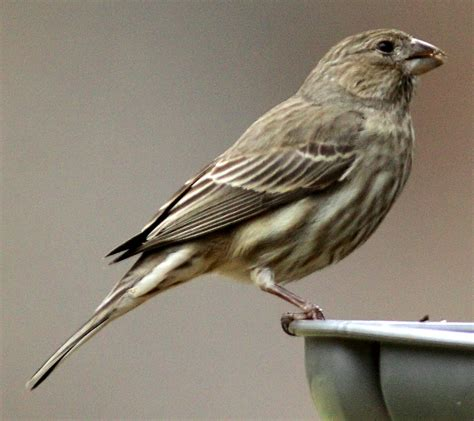 house finch images finches