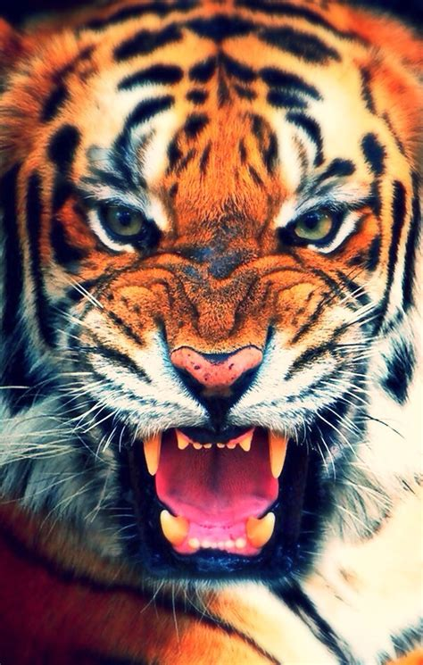 wallpaper for iphone 6 tiger tiger iphone wallpaper free download 2323 hd wallpaper site