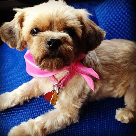 pictures of shorkie dog haircuts shorkie full grown love love love pinterest