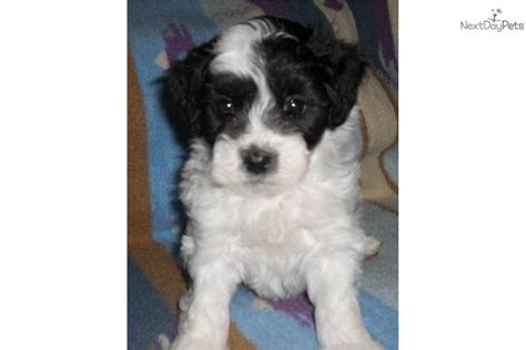 maltipoo puppies for sale in indiana maltipoo puppies for sale kentucky breeds picture