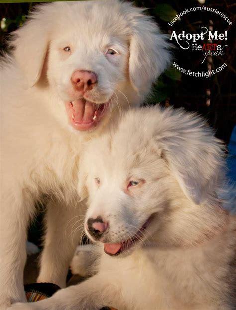 australian shepherd puppies san diego australian shepherd rescue