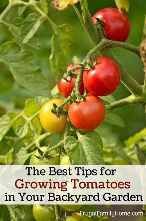 the best tips for growing tomatoes in your backyard garden
