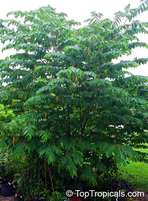 cherry tree jams muntingia calabura strawberry tree jam tree jamaican singapore panama cherry cotton
