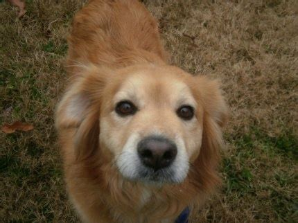 tennessee valley golden retriever rescue this is an approx 3 5 year golden mix she came to rescue from a shelter