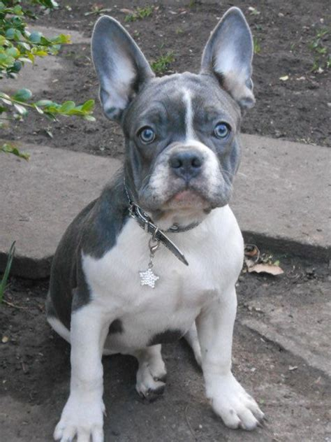 pied bulldog puppies for sale blue pied bulldog puppy with kc nottingham nottinghamshire pets4homes