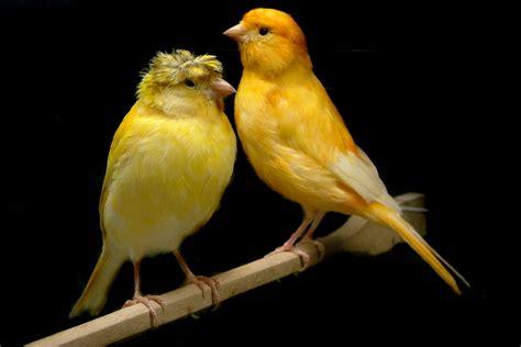 Sarang Walet Pakan Lovebird 5 cara merawat burung kenari sebelum kawin burungnya