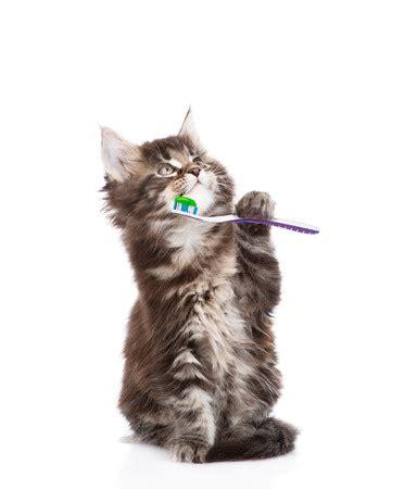Cat Co Wellness Kitten 15kg feline health teething and resorption gillett vet clinic westiminster co veterinary clinic